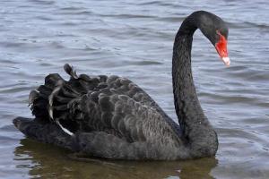 small_Black_Swan
